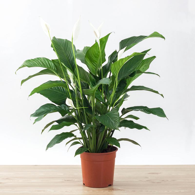 Spathiphyllum sweet laureta