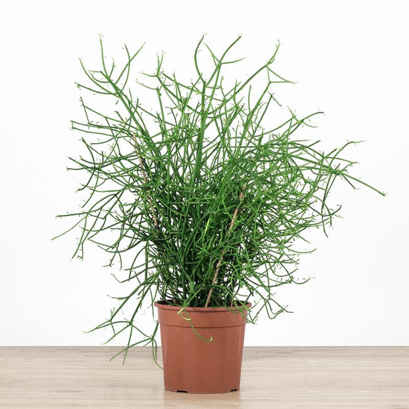 Euphorbia tirucali