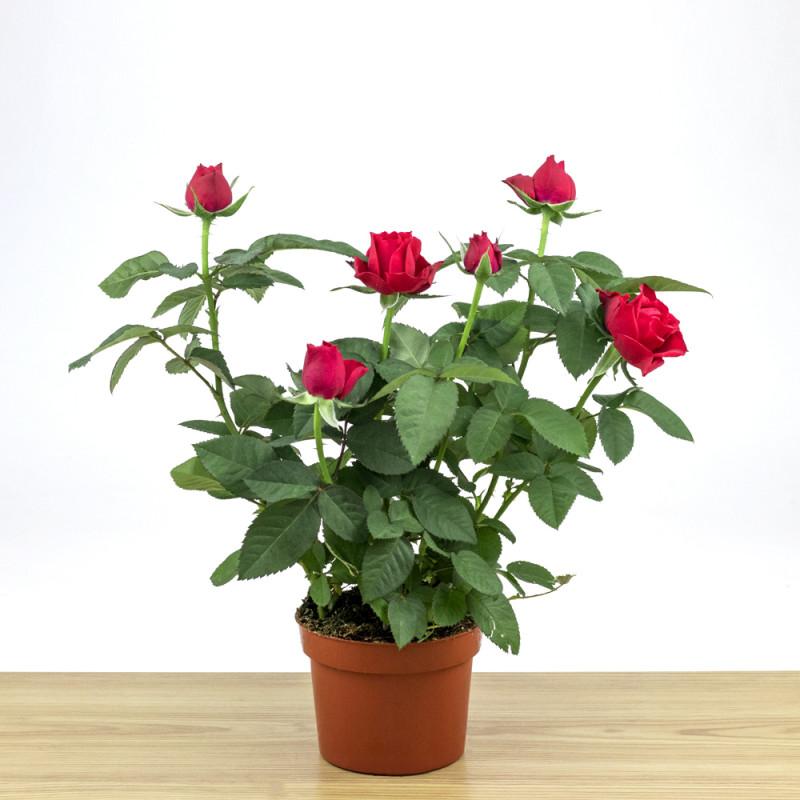 Rosa artistique
