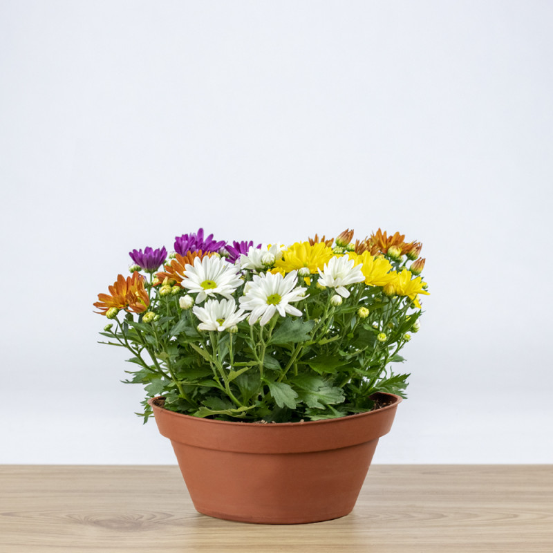 Chrysanthemum carneval