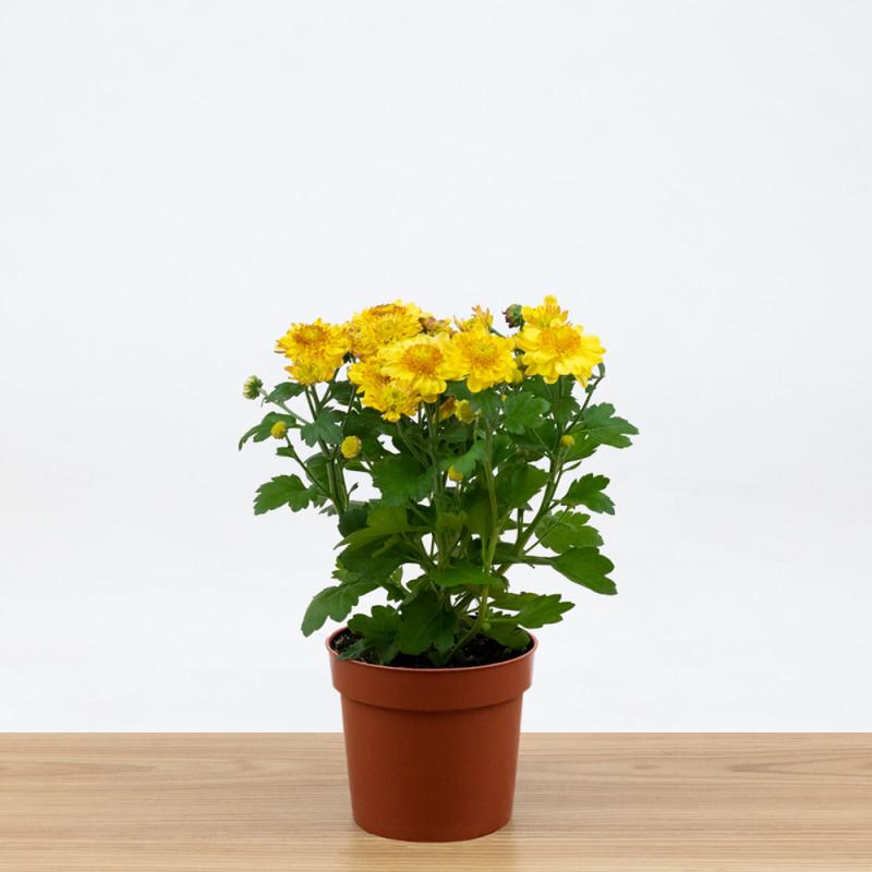 Chrysanthemum pretzel